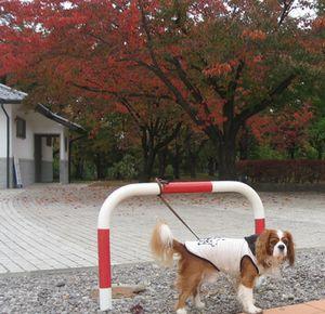 ショコラ 006公園紅葉2