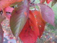 ショコラ 003桜葉