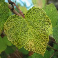 ショコラ 018ノブドウの葉