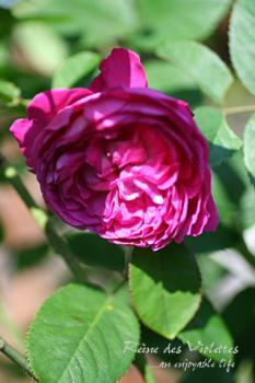 r_reine_des_ violettes