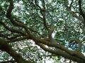 この木なんの木 モアナルア ハワイ