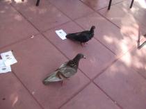 鳩が2匹やってきました~