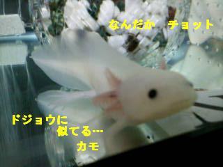 ニア☆ドジョウ1
