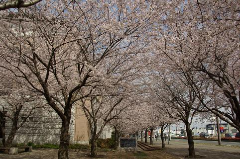 110410-08cherry of shiyakusho1
