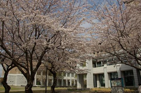 110410-12cherry of shiyakusho3