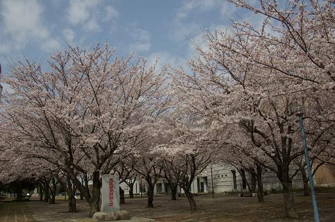 110410-14cherry of shiyakusho4