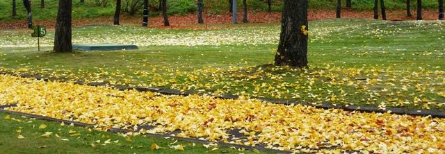 144イチョウ落ち葉