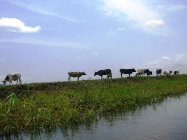 のどかに牛