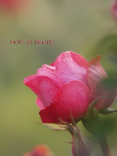 rose1_20080306020824.jpg