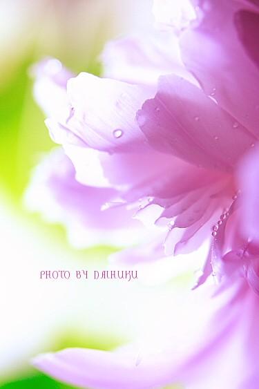 shakuyaku1.jpg