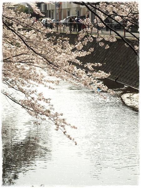 110410sakura5.jpg