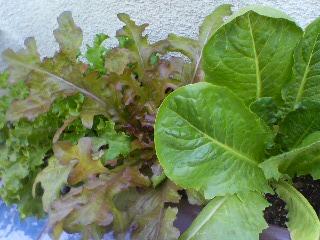 サラダ菜っ葉 2011.5.18