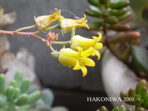 花うらら花1