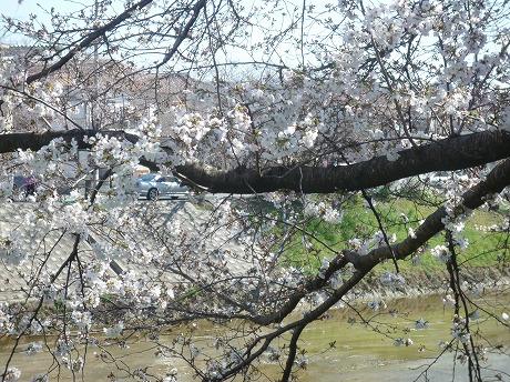 佐保川桜5