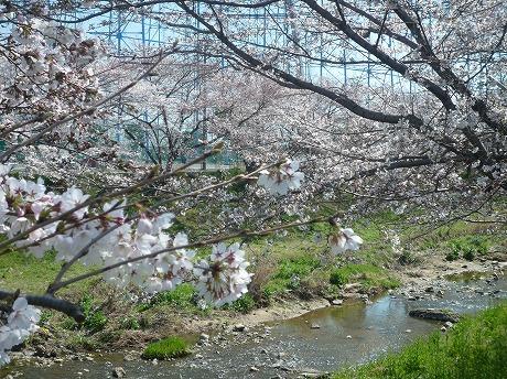 佐保川桜4