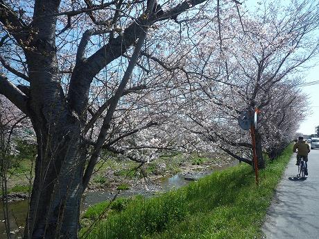 佐保川桜1