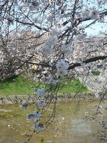 佐保川桜6