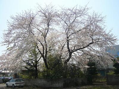 東京の桜(1)