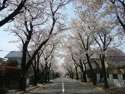 東京の桜(2)