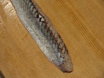 秋刀魚刺身、やまかけ5