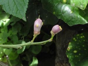 2011.5.15レモンの花blog01