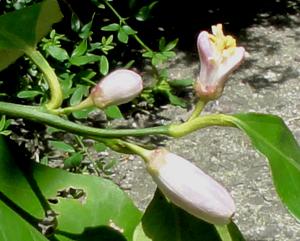 2011.5.15レモンの花blog02