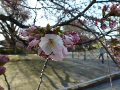 東工大桜2 4.2