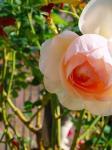 お店の前で咲いていた薔薇・・