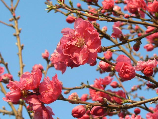 赤色の桃の花