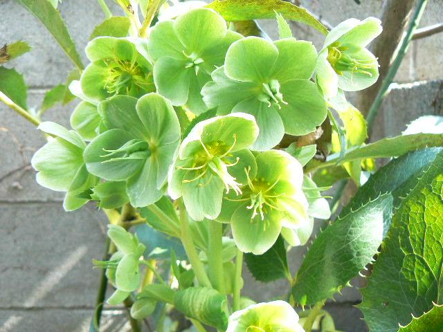 早咲きの緑色