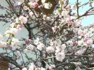 咲き分けの桃