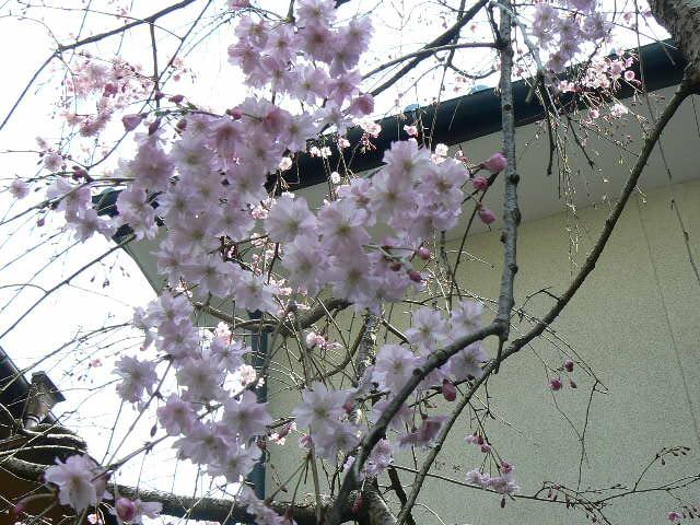 リビング前の枝垂れ桜