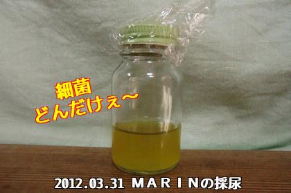 2012.03.31 MARINの採尿(細菌どんだけぇ~)