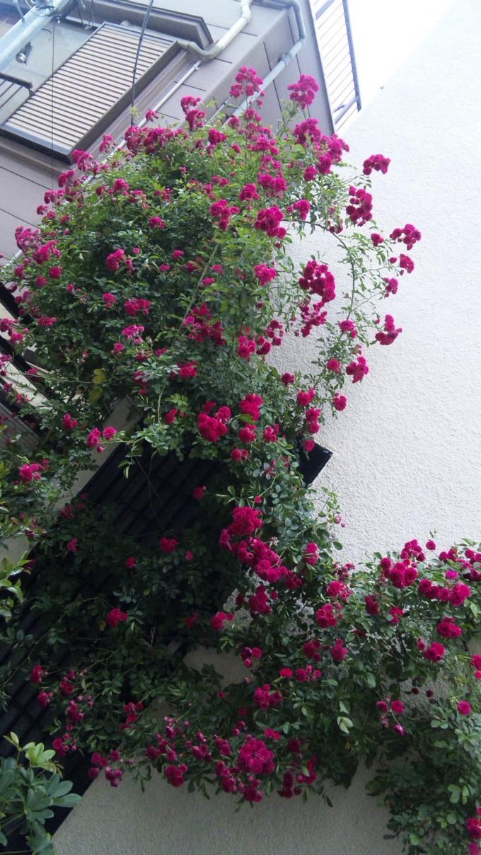 ROSE_20110526