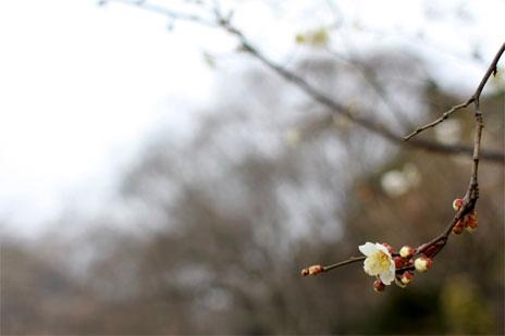多摩川河畔に咲く梅の花