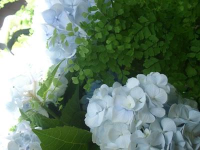 光に透ける紫陽花とアジアンタム