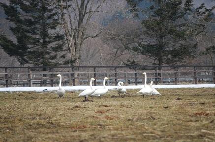 3・白鳥・放牧地に降りた