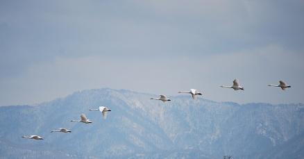 3・白鳥・白鳥の群れ
