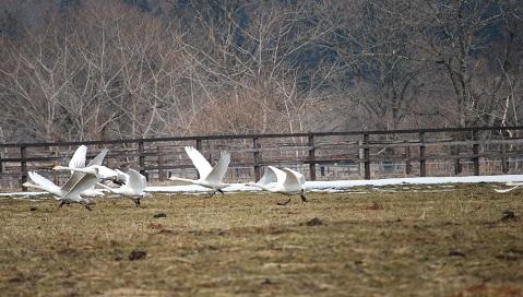 3・白鳥・飛び立つハクチョウ