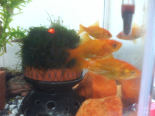 金魚とドーム
