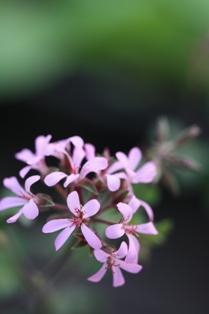lavender lass 914 2011