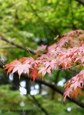 京都・大原、三千院 色づきかけの紅葉