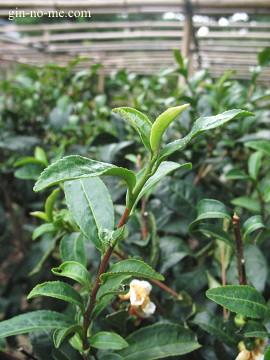 平成の茶園