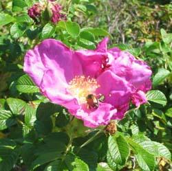 Blog はまなすの花