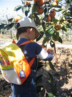 柿をもぐ息子