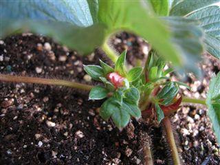イチゴのつぼみ
