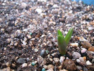 ムスカリの芽