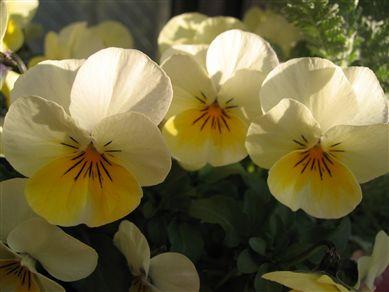 2008.0229黄色ビオラ_R