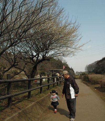 裏山の梅は来週が見ごろかな?