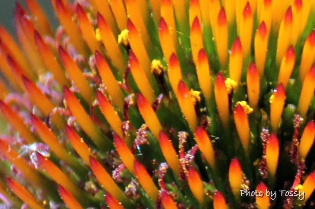 ムラサキバレンギク 筒状花